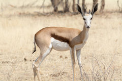 Young Springbok, portrait Stock Images
