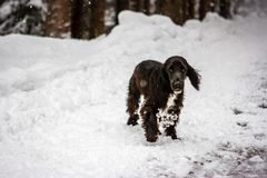 Young springer cocker in the snow, Cortina D`Ampezzo, Italy royalty free stock photography