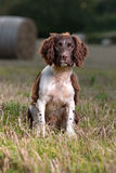 A young springer spaniel dog Stock Photography