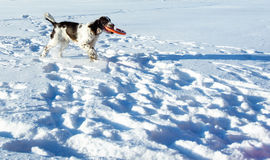 The young Springer Spaniel plays with disk on snow fi Royalty Free Stock Images
