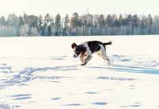 The young Springer Spaniel run on snow field Royalty Free Stock Photography