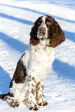 Young springer spaniel in winter forest Royalty Free Stock Photography