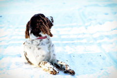 Young springer spaniel in winter forest Royalty Free Stock Photos