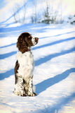 Young springer spaniel in winter forest Royalty Free Stock Photo
