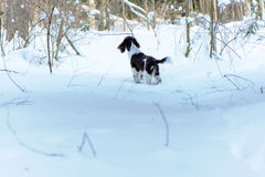 Young springer spaniel in winter forest Stock Photos