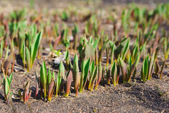 Young springs sprout of tulips. New nature season Stock Images