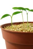 Young sprout Stock Image
