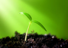 Young sprout. On green background in the sunlight Stock Photo