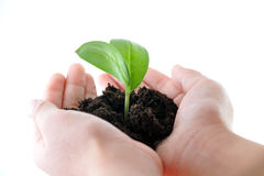 Young sprout. Hands with plant and dirt Royalty Free Stock Images
