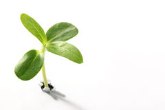 Young sprout Royalty Free Stock Photography