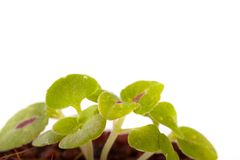Young sprout in coco substrate, coleus plant Royalty Free Stock Image