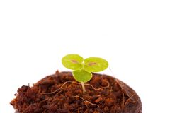 Young sprout in coco substrate, coleus plant Stock Photos