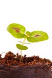Young sprout in coco substrate, coleus plant Stock Images