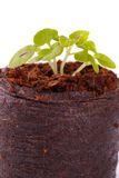 Young sprout in coco substrate, coleus plant Royalty Free Stock Photo