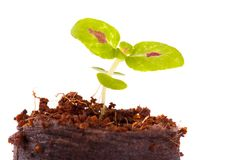 Young sprout in coco substrate, coleus plant Stock Photo