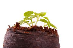 Young sprout in coco substrate, coleus plant Royalty Free Stock Photos