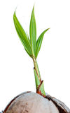 Young sprout of coconut isolated Royalty Free Stock Photography