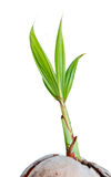 Young sprout of coconut isolated Stock Photos