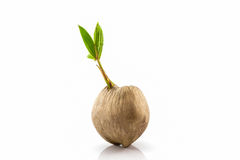 Young sprout of coconut tree grown-up. Stock Photo