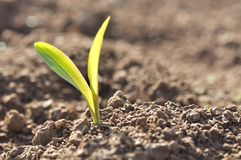 Young sprout of corn Royalty Free Stock Photography