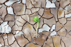 Young sprout in cracked land Royalty Free Stock Image