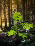 Young sprout in the forest often. Green sprout of young tree in the shade of the forest thicket Stock Photography