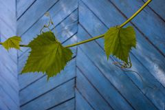Grape vine on the background of a wooden wall. royalty free stock image
