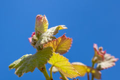 Young sprout of grapes. Vineyard buds in spring Stock Photos