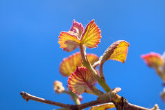 Young sprout of grapes. Vineyard buds in spring Royalty Free Stock Photos