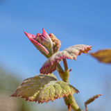 Young sprout of grapes. Vineyard buds in spring Stock Image