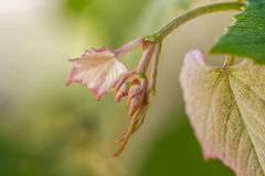 Young sprout of grapes. Vineyard buds in spring Royalty Free Stock Photography