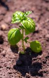 Young sprout of green basil. On sunny day Royalty Free Stock Photo