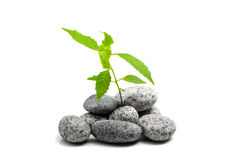 Young sprout of green plant growing on stones Royalty Free Stock Images