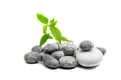Young sprout of green plant growing on stones Stock Images
