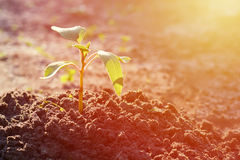 A young sprout grows out of the ground. The desire to live, stretches to the Sun.  Stock Image