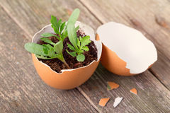 Young sprout in a half of an egg shell. Symbol of origin and development of life and spring. Close up, small depth of sharpness Royalty Free Stock Photography