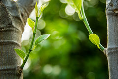 Young sprout of jackfruit growing from tree Stock Photography