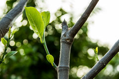 Young sprout of jackfruit growing from tree Stock Photo