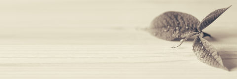 Young  sprout, leaf on wooden background. Wood background.  Black and white background, sepia. Texture. Stock Photography