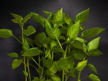 Young sprout new green pepper plant in soil, black earth background close-up stock photography