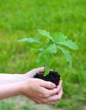 A young sprout of an oak in female hands. Stock Photos