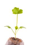 Young sprout in peat tablet, celery plant Royalty Free Stock Photos
