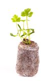 Young sprout in peat tablet, celery plant Royalty Free Stock Photo