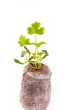 Young sprout in peat tablet, celery plant Stock Image