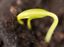 A young sprout of pepper in the ground. Macro stock images