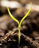 A young sprout of pepper in the ground. Macro royalty free stock photos