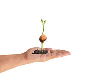 Young sprout plant growing out of soil from seed in hand Royalty Free Stock Image