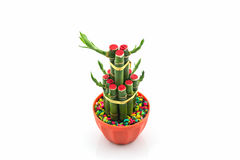 Young sprout of Ribbon dracaena tree grown-up. Stock Photo