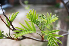 Young sprout in the spring with a bud of rowan. Young rowan twig with leaves and a bud in spring Royalty Free Stock Photo