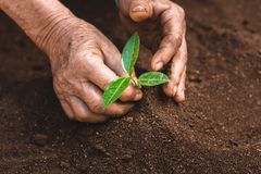 Young sprout in springtime,Closeup.Hands of farmer growing plant a tree natural background,Plant a tree growing plant The soil and. Seedlings in the old Royalty Free Stock Images